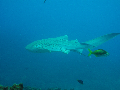 Leopard Shark find scuba